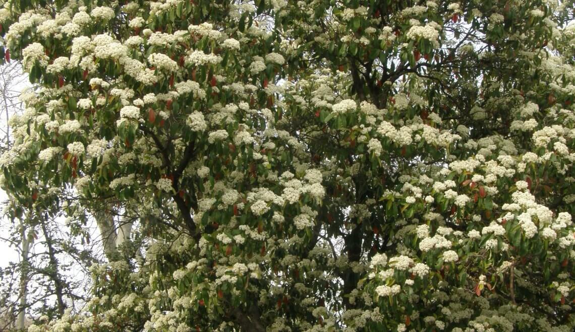 Photinia en fleur