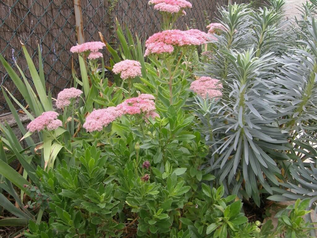 jardin d'Elodie, sedum et euphorbe