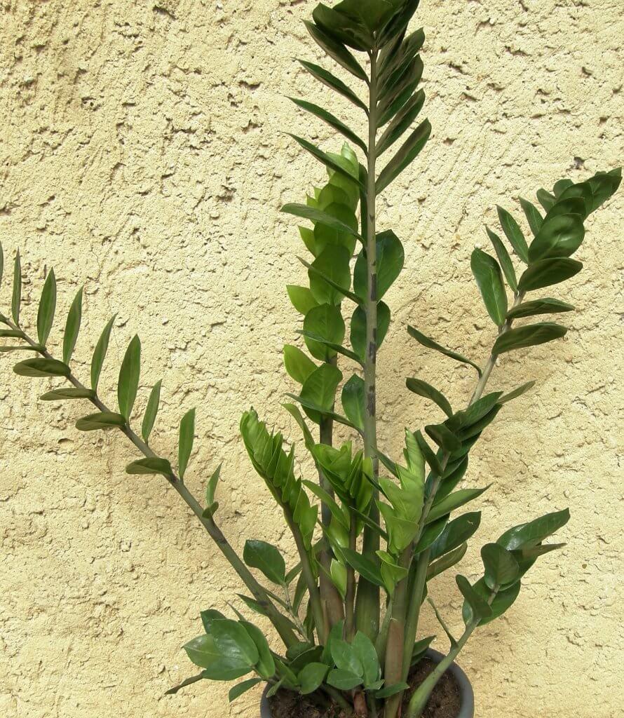 Mon beau Zaza, le Zamioculcas zamiifolia
