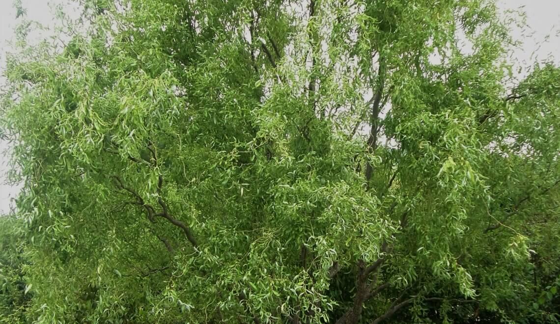 Saule tortueux, Salix tortuosa