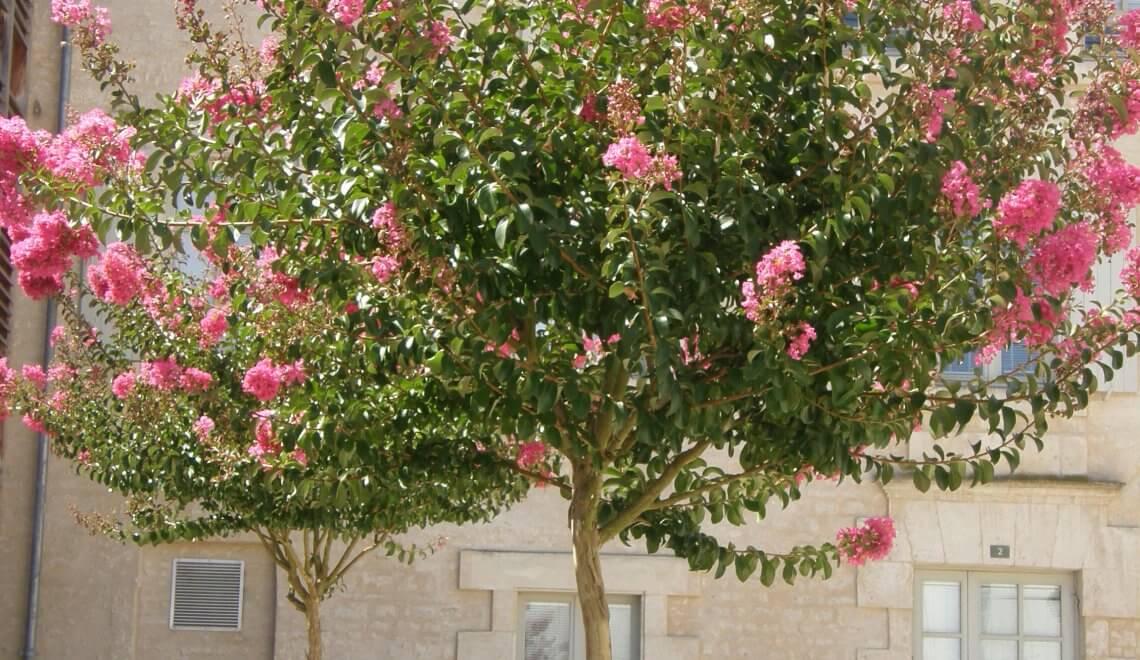 Lagertroemia indica, le lilas des Indes peut aussi se cultiver en pot