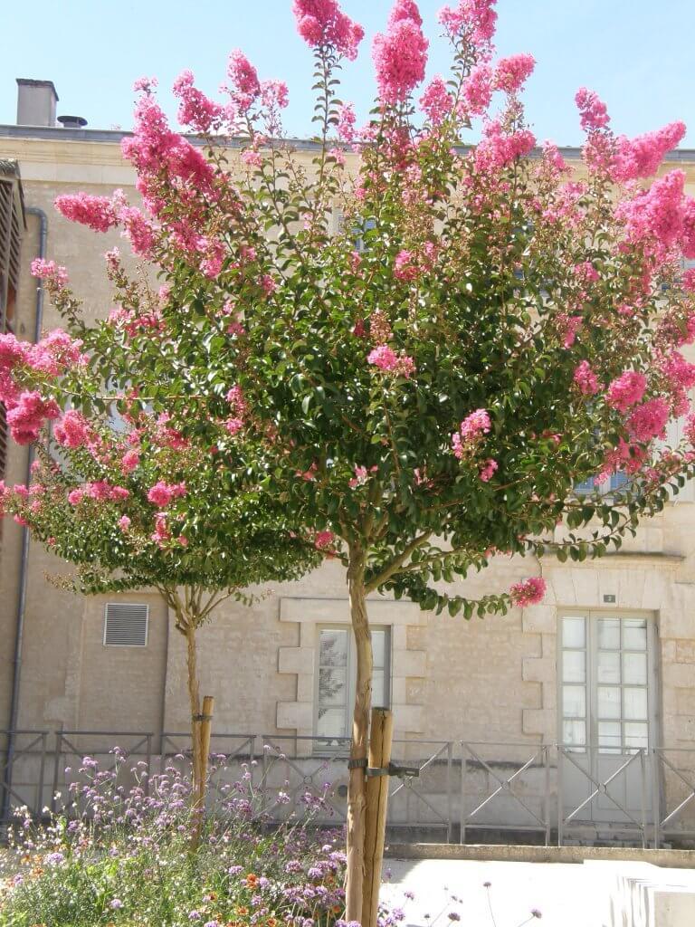 Petit arbre pour pot quelques esp ces humeur de jardinier - Le lilas des indes ...