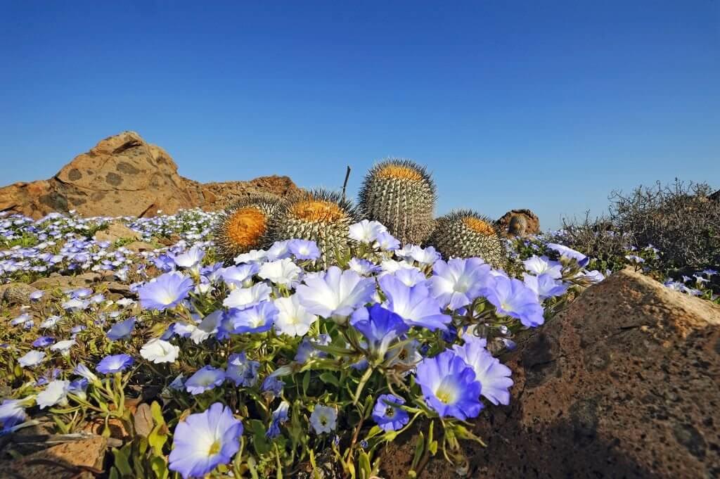 Quand le désert d'Atacama se recouvre de millions de fleurs Crédit : P. Pardo Ávalos / ESO - CC BY Source : notre-planete.info, http://www.notre-planete.info/actualites/4367-fleurs-desert-Atacama