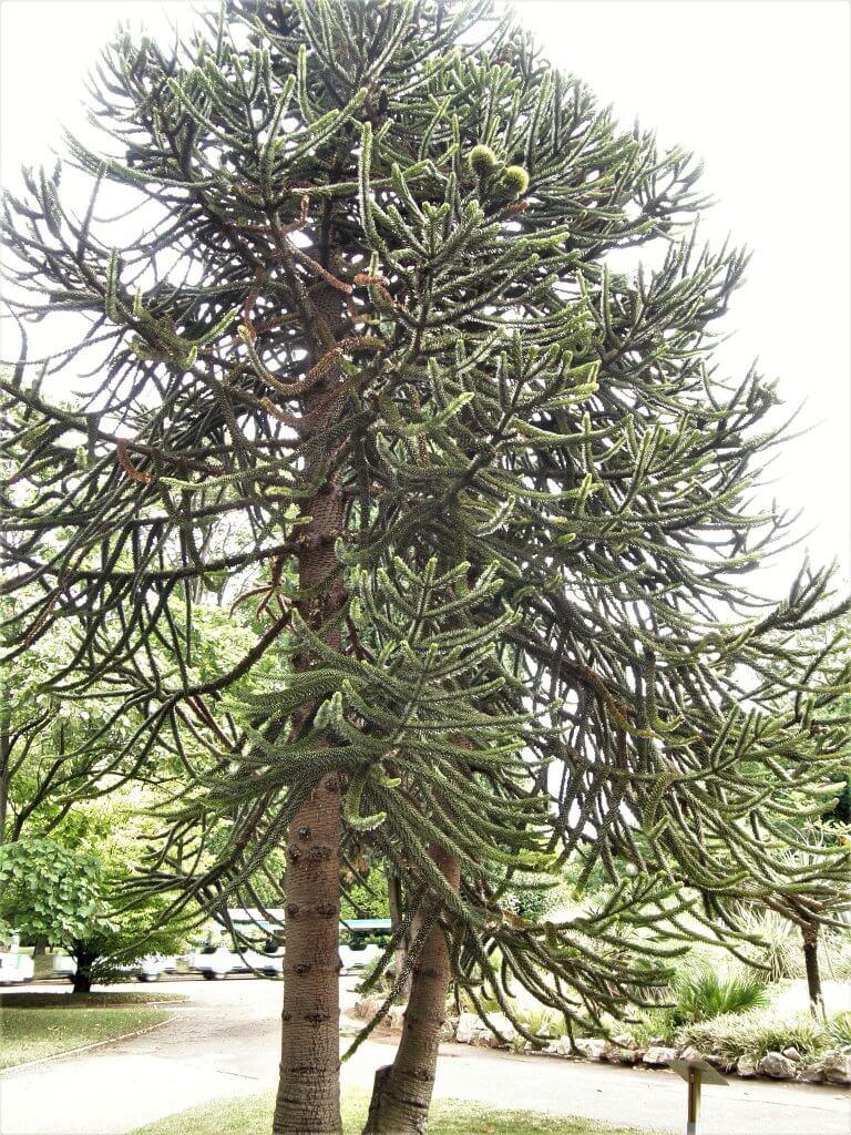 Choisir son sapin de noël : l'Araucaria araucana, le désespoir du singe n'est pas le plus approprié !