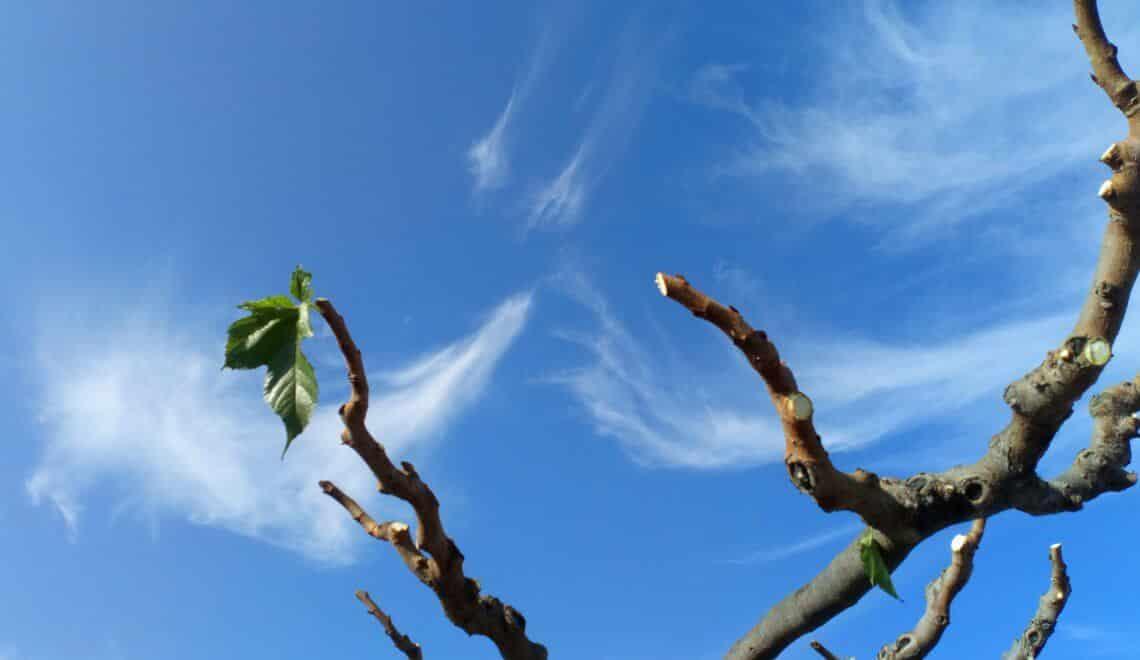 Taille du m rier platane conseil humeur de jardinier for Conseil du jardinier