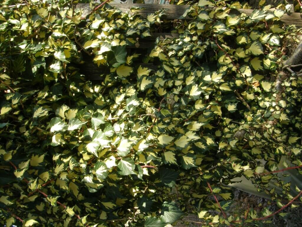 Lierre panaché à petites feuilles