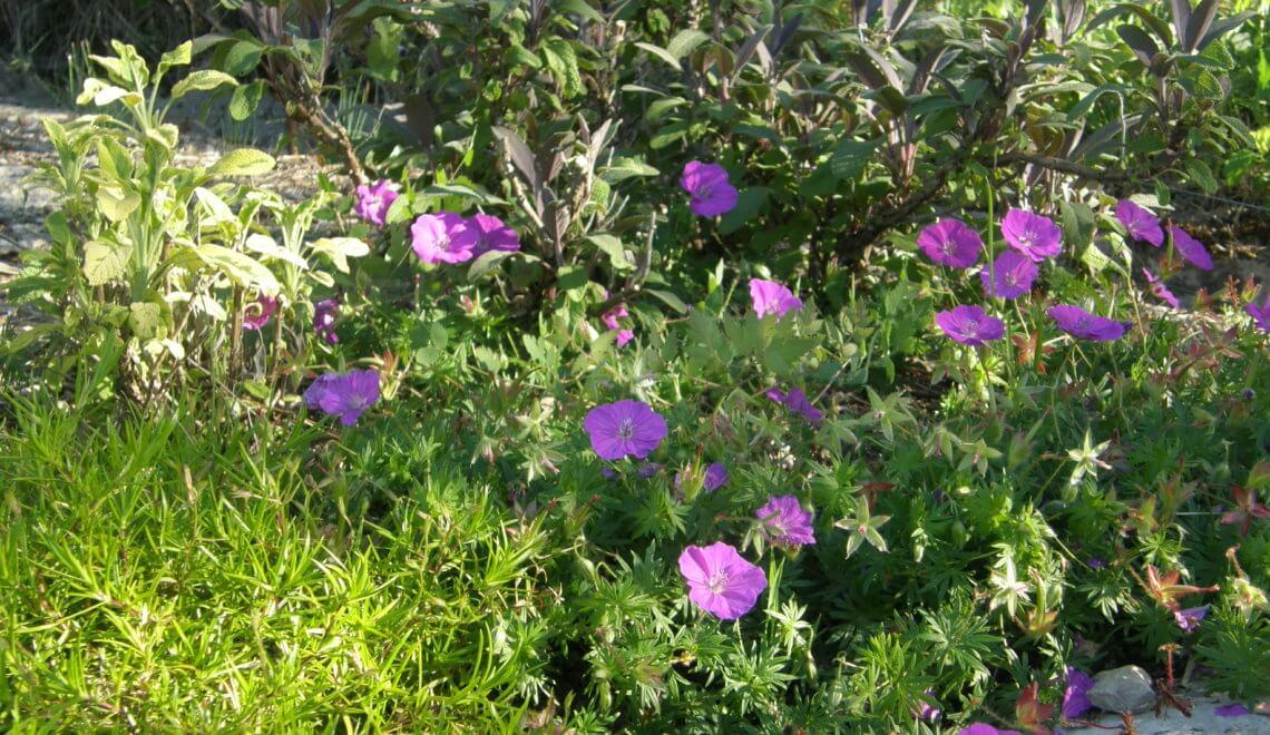 Geranium, à ne pas confondre avec pelargonium