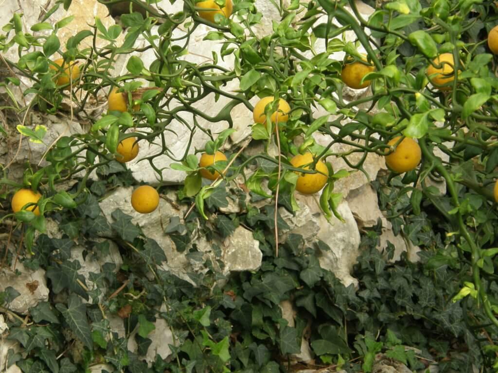 Poncirus et ses fruits