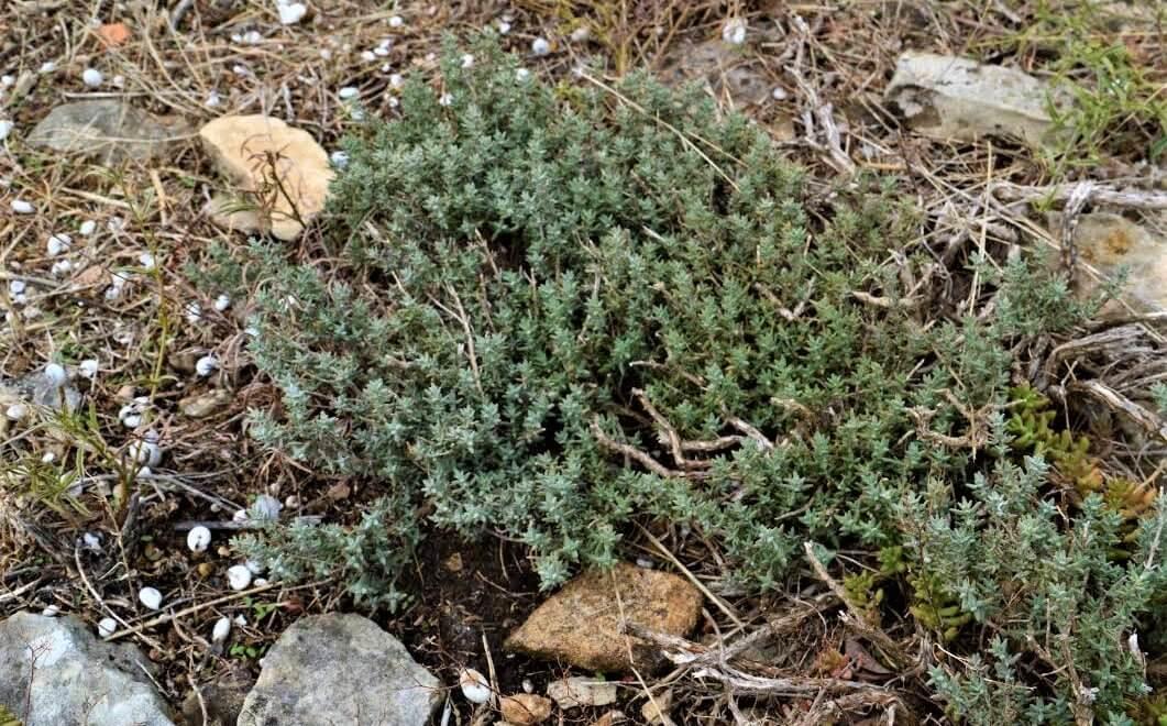 Thym, Thymus vulgaris