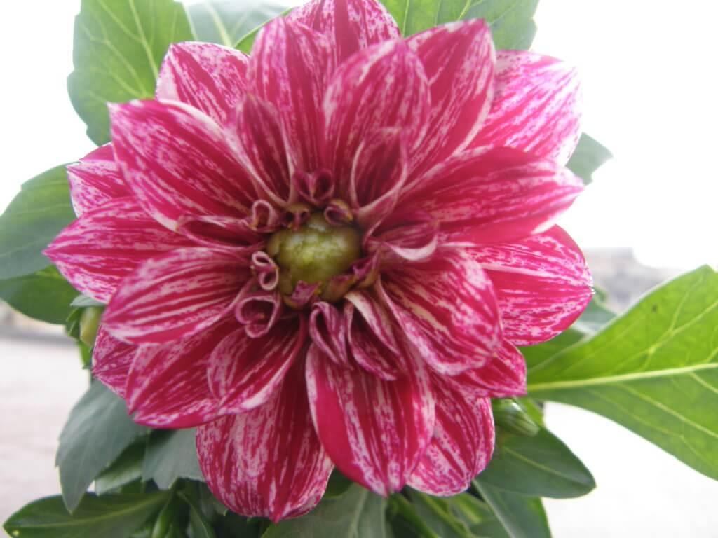L'un des plus courants bulbes d'été, le Dahlia