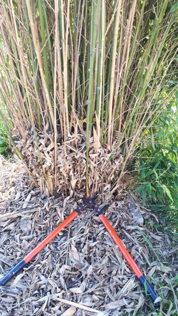 Sécateur ébrancheur, la meilleure arme contre le bambou envahisseur